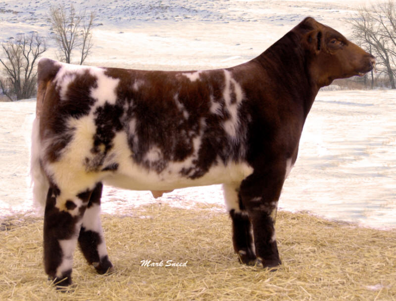 Shorthorn Calves | www.pixshark.com - Images Galleries ...